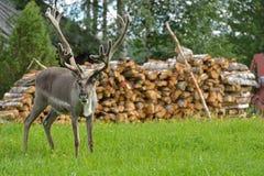 Reindeer (Rangifer tarandus). In finnish Lapland Royalty Free Stock Images