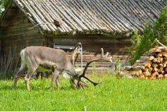 Reindeer (Rangifer tarandus) grazes near village hut Stock Image