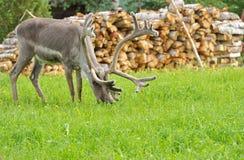 Reindeer (Rangifer tarandus) grazes Stock Images