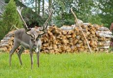 Reindeer (Rangifer tarandus) grazes near village hut Royalty Free Stock Images