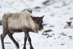 Reindeer, Rangifer tarandus, grazing, foraging in the snow on a windy cold winters day on a hill in the cairngorms national park,. Scotland. landscape Royalty Free Stock Image