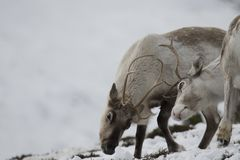 Reindeer, Rangifer tarandus, grazing, foraging in the snow on a windy cold winters day on a hill in the cairngorms national park,. Scotland. landscape Stock Photo