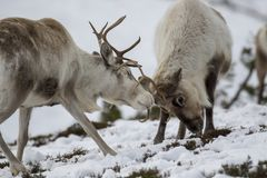 Reindeer, Rangifer tarandus, grazing, foraging in the snow on a windy cold winters day on a hill in the cairngorms national park, stock photos