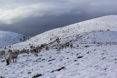 Reindeer, Rangifer tarandus, grazing, foraging in the snow on a windy cold winters day on a hill in the cairngorms national park,. Scotland. landscape Royalty Free Stock Images