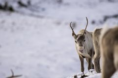 Reindeer, Rangifer tarandus, grazing, foraging in the snow on a windy cold winters day on a hill in the cairngorms national park,. Scotland. landscape Royalty Free Stock Photography