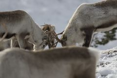 Reindeer, Rangifer tarandus, grazing, foraging in the snow on a windy cold winters day on a hill in the cairngorms national park,. Scotland. landscape Royalty Free Stock Photo