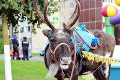 Reindeer Rangifer tarandus is in harness on holiday. Reindeer Rangifer tarandus is in harness on holiday Royalty Free Stock Photos