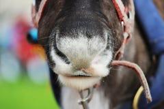 Reindeer Rangifer tarandus is in harness on holiday. Reindeer Rangifer tarandus is in harness on holiday Stock Photography