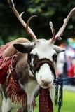 Reindeer Rangifer tarandus is in harness on holiday. Reindeer Rangifer tarandus is in harness on holiday Royalty Free Stock Photo