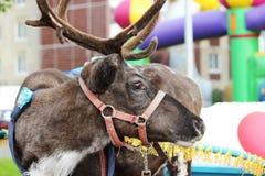 Reindeer Rangifer tarandus is in harness on holiday. Reindeer Rangifer tarandus is in harness on holiday Royalty Free Stock Image