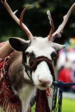 Reindeer Rangifer tarandus is in harness on holiday. Reindeer Rangifer tarandus is in harness on holiday Royalty Free Stock Images