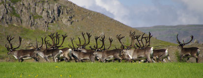 Reindeer ( Rangifer tarandus ) herd in Iceland Stock Images