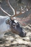 Reindeer horned head. Wild northern animal. Reindeer Rangifer tarandus horned head. Wild northern animal Royalty Free Stock Image