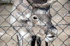 Reindeer Rangifer Tarandus  in Zoo stock images