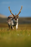 Reindeer, Rangifer tarandus, with massive antlers in the green grass, blue sky, Svalbard, Norway Royalty Free Stock Image