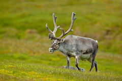 Reindeer, Rangifer tarandus, with massive antlers in the green grass, Svalbard, Norway. Wildlife stock images
