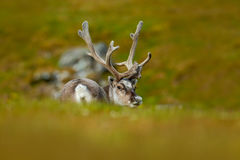 Reindeer, Rangifer tarandus, with massive antlers in the green grass, Svalbard, Norway. Wildlife scene from nature. Animal from No Royalty Free Stock Photo