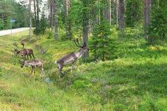 Reindeer (Rangifer tarandus) Royalty Free Stock Image