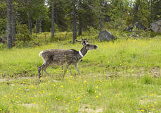 Reindeer (Rangifer tarandus) Stock Image