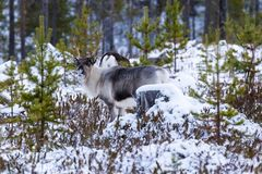 Reindeer / Rangifer tarandus in winter forest Stock Image