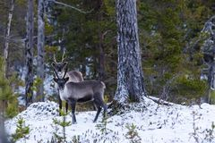 Reindeer / Rangifer tarandus in winter forest Stock Photography