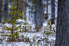 Reindeer / Rangifer tarandus in winter forest Stock Photos