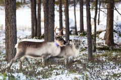 Reindeer / Rangifer tarandus in winter forest Stock Photo