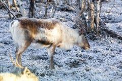Reindeer / Rangifer tarandus in winter forest Stock Image