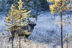 Reindeer / Rangifer tarandus in winter forest Stock Photo