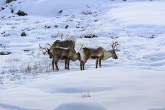 Reindeer (Rangifer tarandus) Stock Photography
