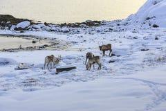 Reindeer (Rangifer tarandus) Royalty Free Stock Photos