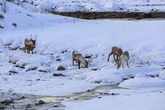 Reindeer (Rangifer tarandus) Stock Images