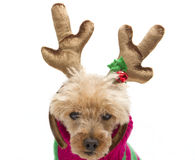 Reindeer Ready Royalty Free Stock Photos