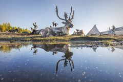 Reindeer Reflection. Reflection of Reindeer in a pond. Photograph taken at a Tsaatan settlement in the Northern Mountains of Mongolia Royalty Free Stock Images