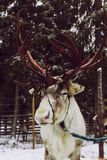 Reindeer & x28;reindeer farm& x29; royalty free stock photo