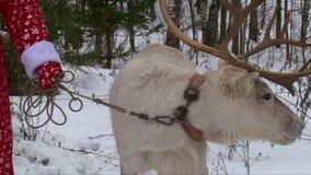 Reindeer in the reins, Santa Claus holding deer stock video footage