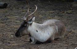 Reindeer resting Royalty Free Stock Photo
