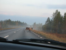 Reindeer on road Royalty Free Stock Image
