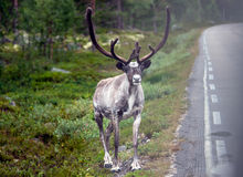 Reindeer by the road Stock Images