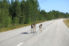 Reindeer on the road Stock Image