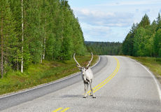 Reindeer on road Stock Photography