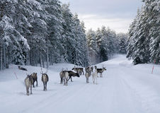 Reindeer on the road in northern Sweden Royalty Free Stock Photography