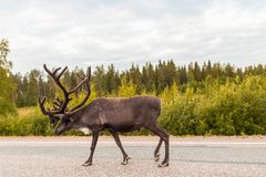 Reindeer on the road walking royalty free stock images