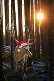 Reindeer Rudolph in the forest, at sunset royalty free stock photography