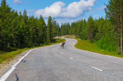 Reindeer running away on main road. In Lapland, Finland Royalty Free Stock Images