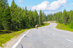 Reindeer running. On main road in Lapland, Finland Royalty Free Stock Photos