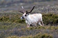 Reindeer. Running in norwegian tundra Royalty Free Stock Image