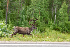 Reindeer running on the side of the road in the green forest Stock Photos