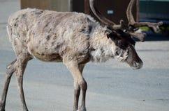 Reindeer in rural enviroment Royalty Free Stock Photos