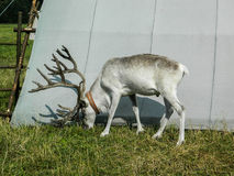 Reindeer in the Russian zoo. Reindeer — cloven-hoofed mammal of the deer family, the only member of the genus reindeer. The genus Rangifer, unlike other deer Stock Photo